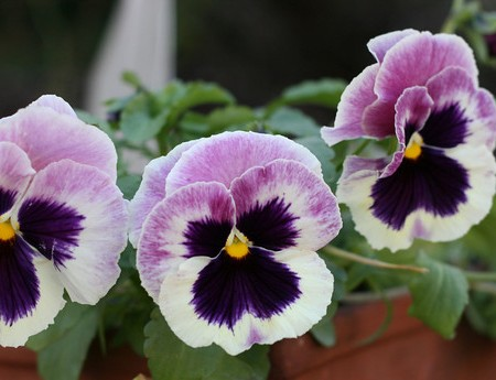 Garden Tuesday – Pansies!