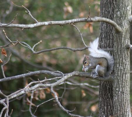 Garden Tuesday–White Tailed Squirrel