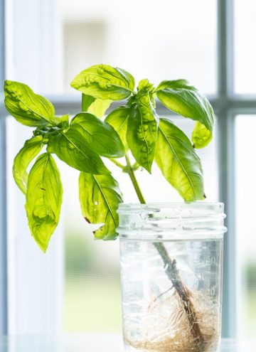 Rooting basil in water