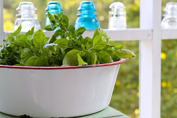 Basil Harvest?  Final?  One more?  for Foodie Friday