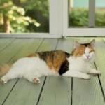 20130713-calico-cat-on-porch-1-M