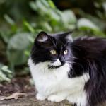 20130914-tuxedo-cat-M