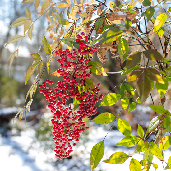 nandina in the snow