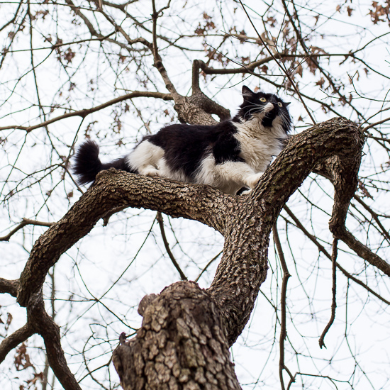 Tuxedo Cat in a tree