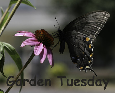 Garden Tuesday–House Finches
