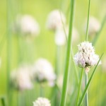 20140527-chives-M