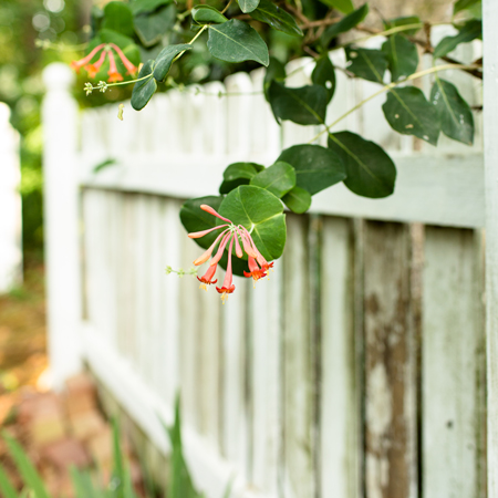 Wordless Wednesday ~More Honeysuckle