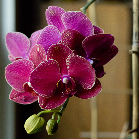 Wordless Wednesday ~Orchids~