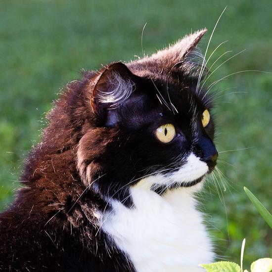 Tuxedo Cat | Sidewalk Shoes