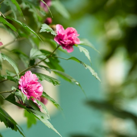 Rose of Sharon and Purple Hyssop | Garden Tuesday