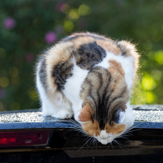 Cat on car | Sidewalk Shoes