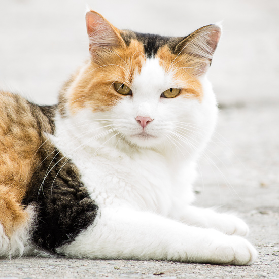 Calico Cat | Sidewalk Shoes