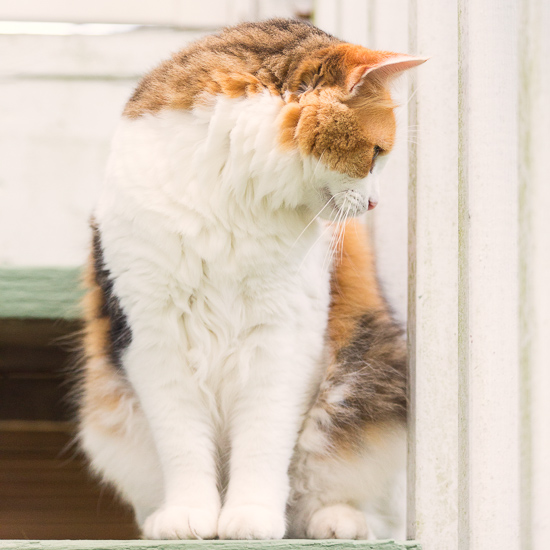 Calico cat sitting on the stairs.