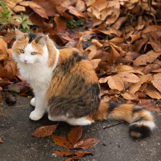 Calico cat in leaves