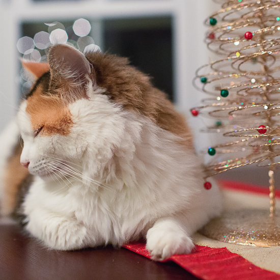 Calico cat with Christmas