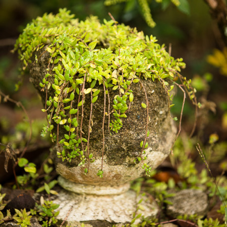 Crumbling urn with sedum