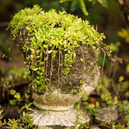 Crumbling urn with sedum
