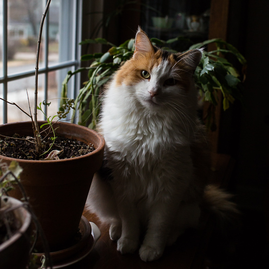 Calico cat at the window