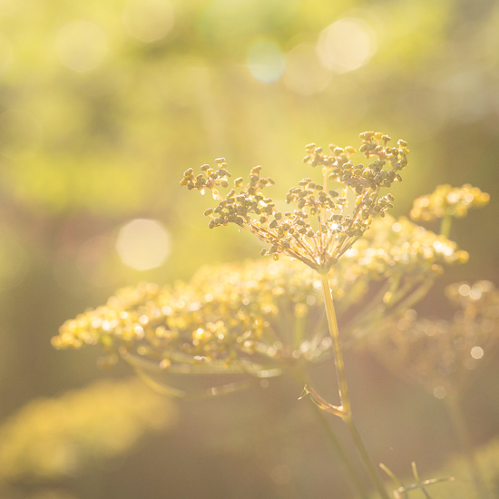 Fennel plant in the morning sun.
