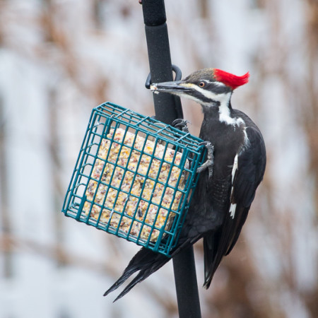 Pileated Woodpecker for Garden Tuesday