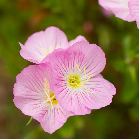 Pink evening primrose garden tuesday sidewalk shoes mightylinksfo