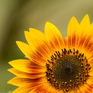 Sunflowers | Garden Tuesday