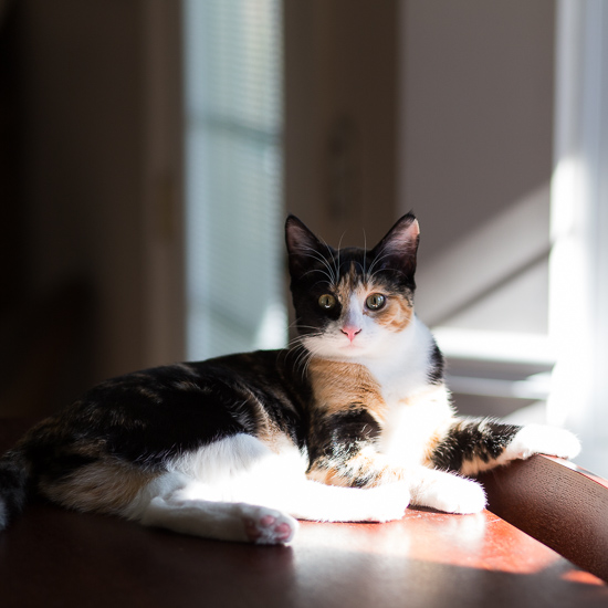 Calico cat in the sunshine.
