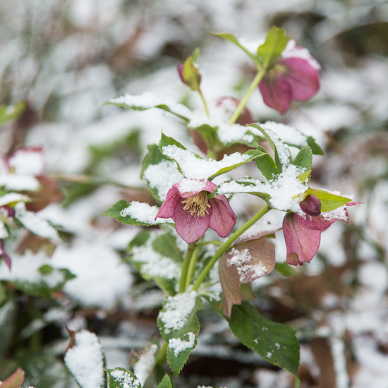 Snow on Lenten Rose