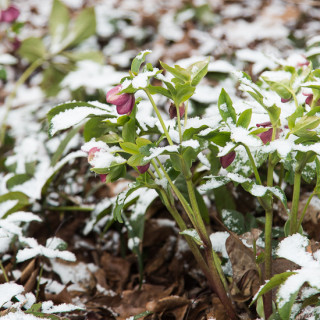 Our Little Snow | Garden Tuesday