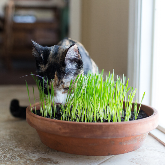 cat with cat grass