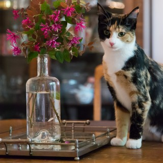 Calico kitten with Chinese Fringe Flower
