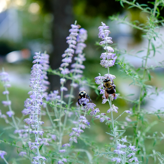 Russian Sage and Bees