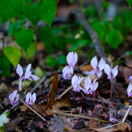 Hardy Cyclamen, Birds and Other Randomness