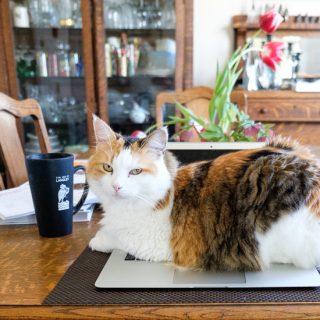 Calico Cat on Macbook Pro