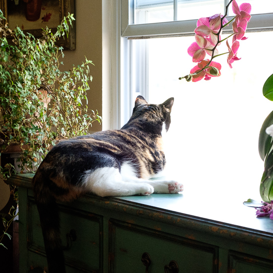 Calico cat looking out a window