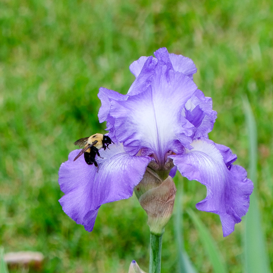 Purple iris with bee