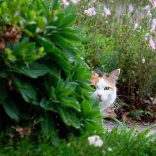 Calico cat peaking from behind bushes