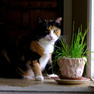 Calico cat with cat grass