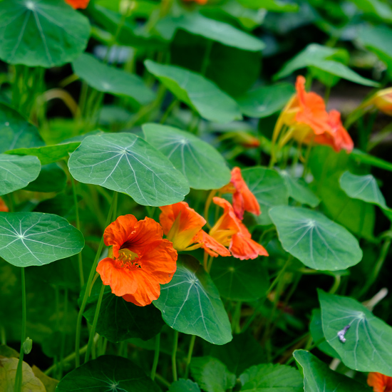 Nasturtiums and Other Garden Happenings