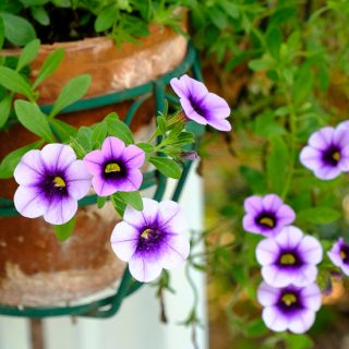 Petunias and Million Bells for Garden Tuesday