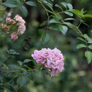Sedum, Zinnias and Roses