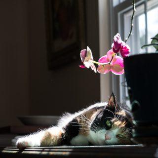 Luxie cat