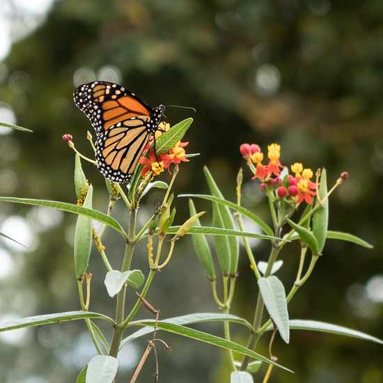 Monarch Butterflies on Butterfly Weed