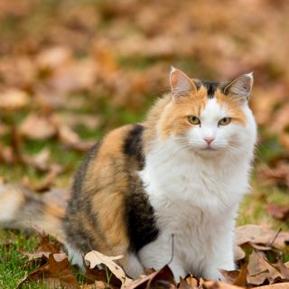 Calico cat in fall leaves