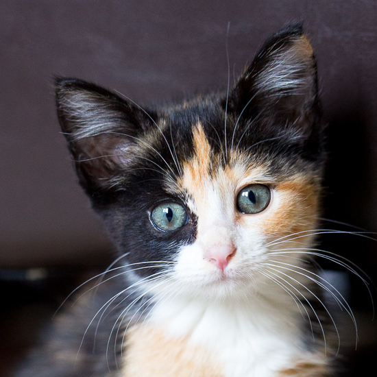 Baby Kitty Luxie – Our Calico Kitten