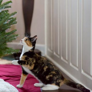 Calico cat and Christmas Tree