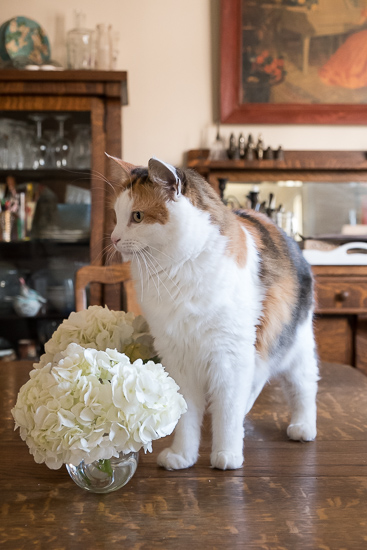 Hydrangeas Are Poisonous to Cats