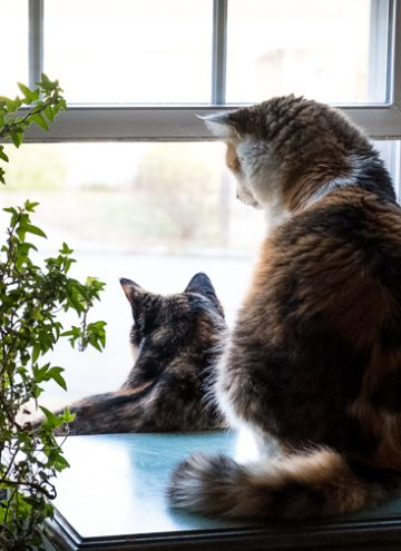 Cats Looking Out Windows