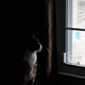 Calico cat looking out window.