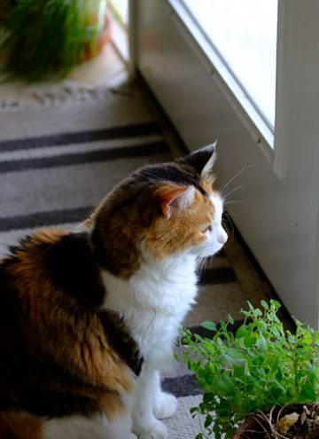 Calico cat looking out the door.